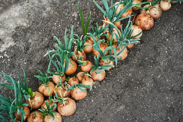 Planting onion in garden. plantation in the vegetable garden agriculture