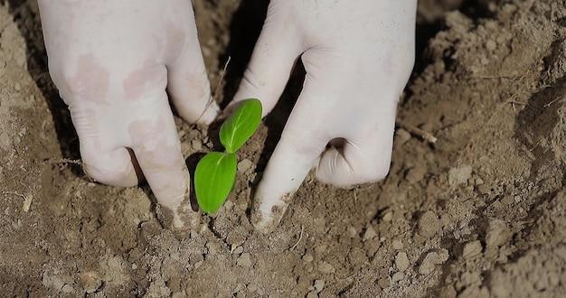 열린 땅에 유기농 오이 묘목을 심는 농부는 친환경 농업 개념에 손을 얹고 녹색 묘목을 심습니다