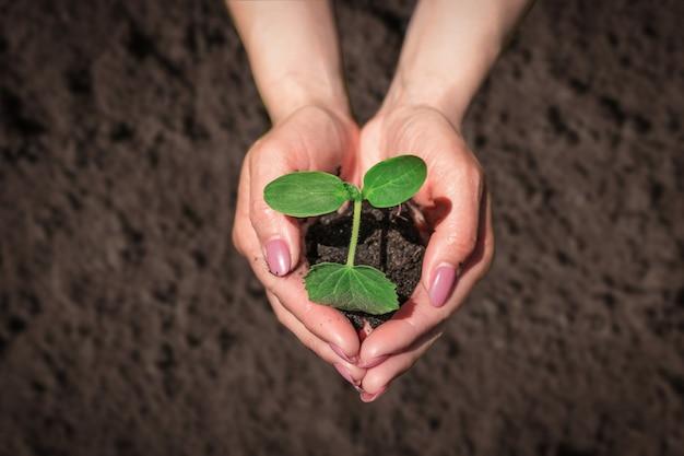 植物の芽を地面に植えます。女性農家の手による苗。生態学と農業の概念。家の裏庭。