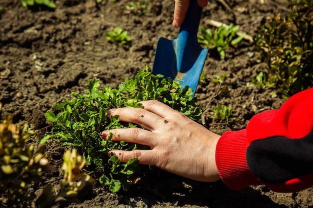 삽으로 봄에 열린 땅에 식물 심기