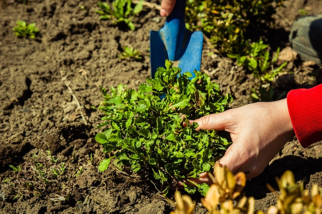 Planting plants in open ground in spring with a shovel