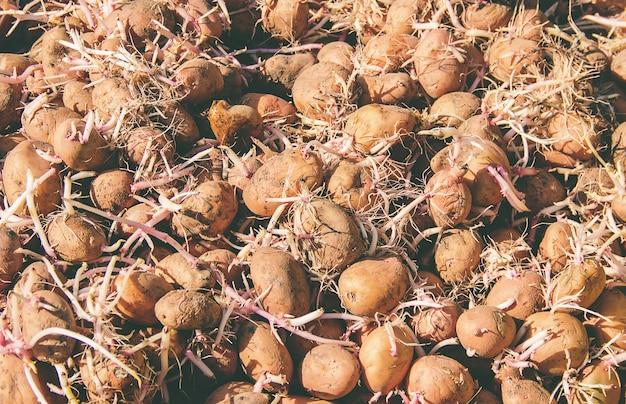 Planting potatoes. garden. selective focus. organic food.