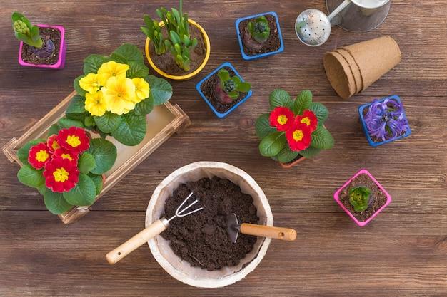 Planting primrose primula vulgaris, violet hyacinth, daffodils potted, tools, spring gardening postcard concept