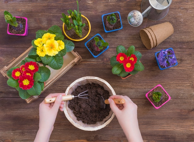 Planting primrose primula vulgaris, violet hyacinth, daffodils potted, tools, woman hands, spring gardening concept