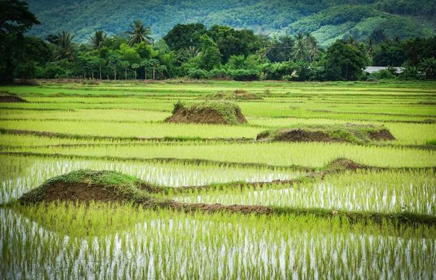 Planting rice on rainy season asian agriculture