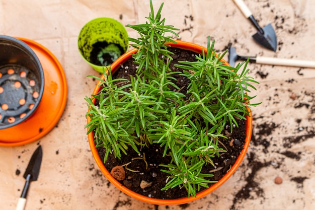 Planting rosemary sprout in a pot at home process
