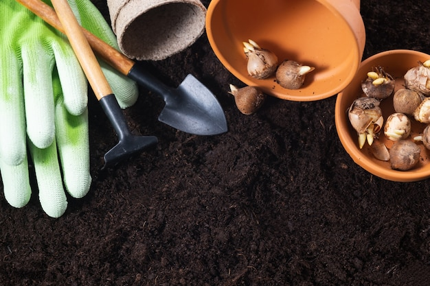 Planting spring flowers. gardening tools, flower pots and crocus bulbs on fertile soil texture background. top view, copy space.