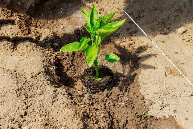 지상에 달콤한 고추 모종 심기. 생태학. 유기농. 야채 재배. 농업.