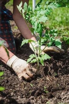 Посадка рассады томатов руками заботливого фермера в своем саду