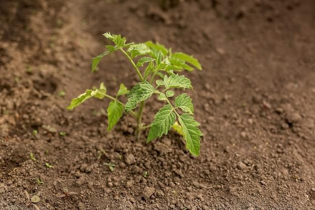 토마토 모종 심기. 자동 급수와 야채 정원에서 젊은 토마토 모종. 지상에서 녹색 젊은 새싹의 클로즈업. 야채 작물 모종의 계절 심기.