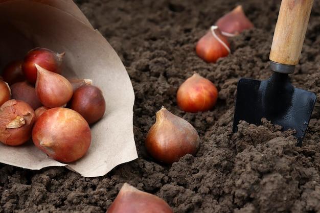 あなたの庭の秋に地面にチューリップの球根を植えます。チューリップの植え方