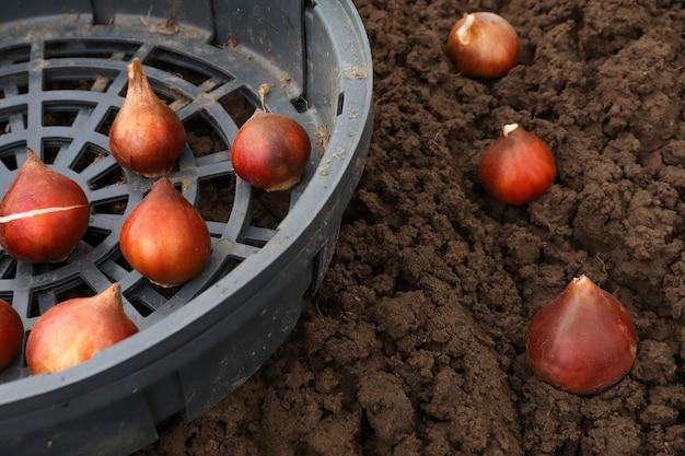 あなたの庭の秋に地面にチューリップの球根を植えます。チューリップの球根をバスケットやオープングラウンドに植えるためのオプション。バスケットコンテナは、マウスから花を保護するために使用されます。