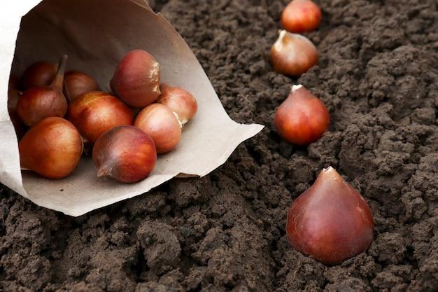 あなたの庭の秋に地面にチューリップの球根を植えます。フラワーガーデンでのチューリップ球根の春の植え付けの準備。