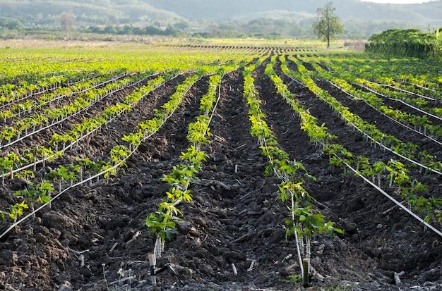 野菜を長い列に植える。従来の水平農業またはガーデニング。線形パターンで作物を栽培するシステム