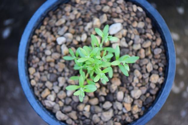 Посадка овощного растения на почву в горшок в саду