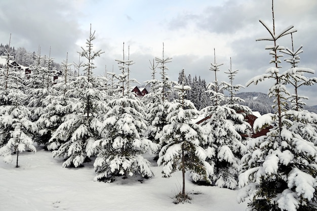 Planting young fir trees on the slopes of the mountains.young fir trees covered with snow in the carpathian mountains