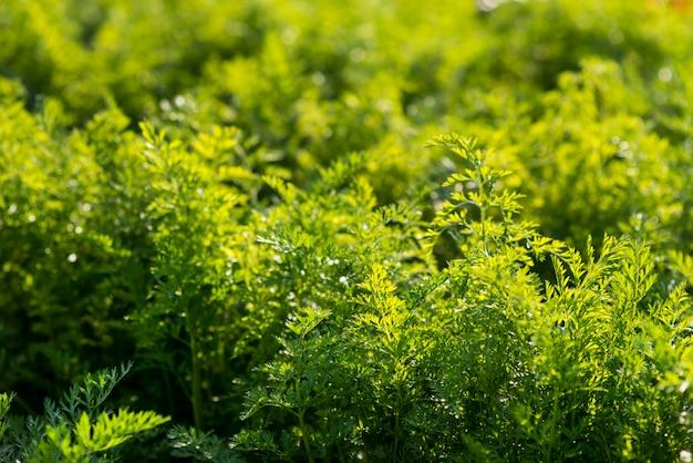 Concetto di agricoltura biologica del campo di piante