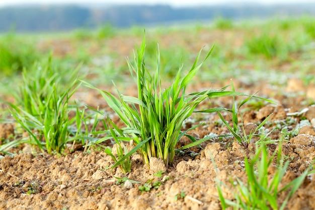 농업 분야에서 성장하는 식물 녹색 밀