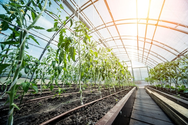 植物温室で育つ植物。