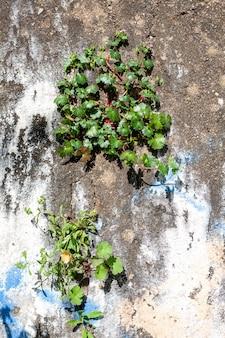 금이 간 콘크리트 벽을 통해 자라는 식물. 오래 된 금이 콘크리트 벽.