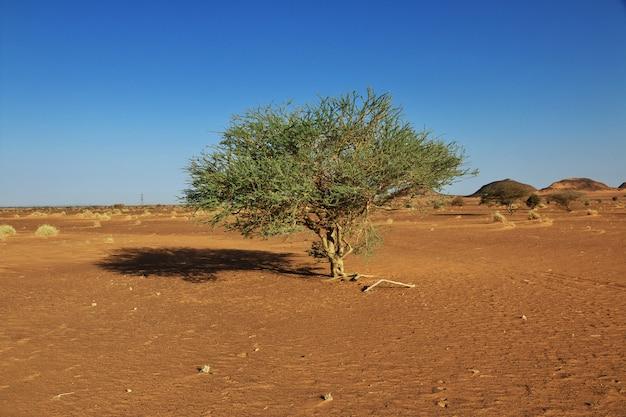 수단의 사하라 사막에있는 식물