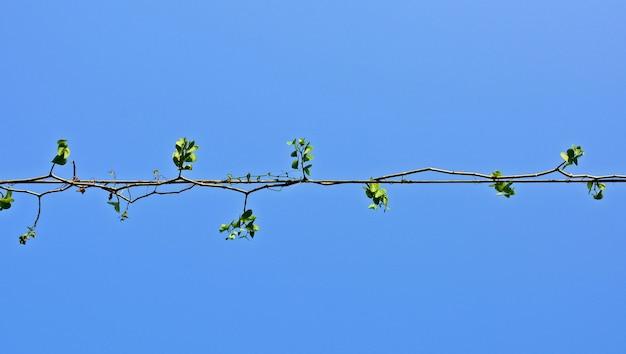 Plants ivy