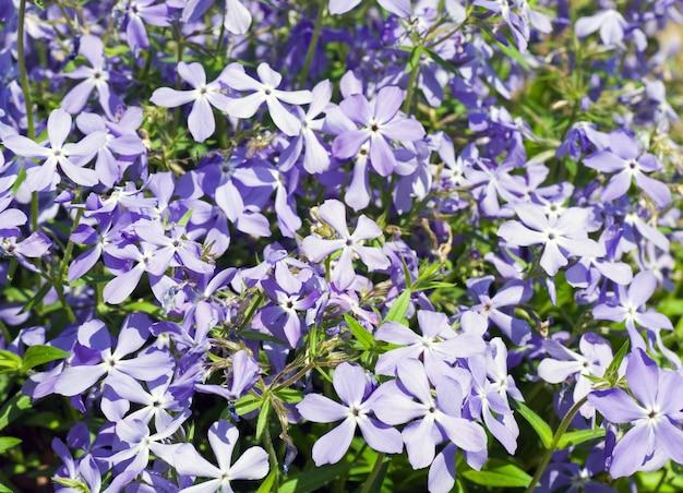 花のあるツルニチニチソウの植物(春の表面)