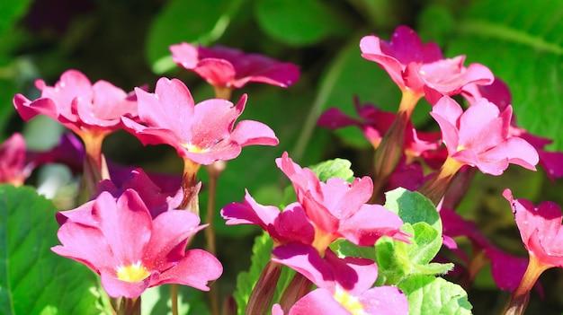 花のあるサクラソウの植物(春の表面)