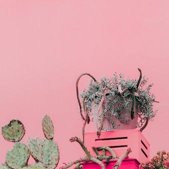 ピンクのコンセプトの植物。ピンクの壁にカナリアサボテン