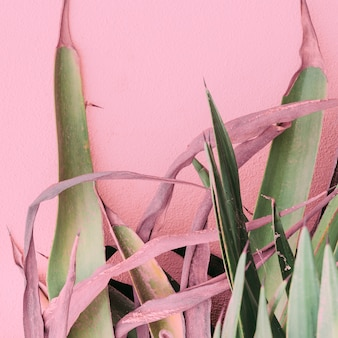 ピンクのファッションコンセプトの植物。ピンクの背景の壁にアロエ