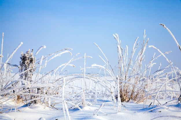 Plants under the snow in winter snowfall