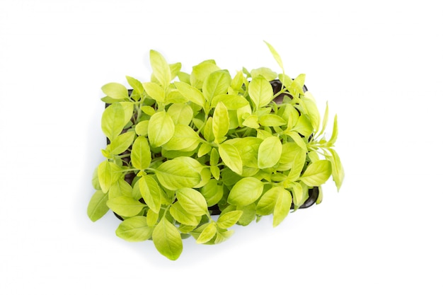 Plastic box with microgreen sprouts of basil isolated on white table.