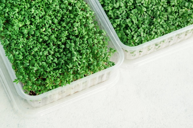 Plastic boxes with growing microgreens of watercress and broccoli