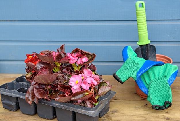 ベゴニアの苗が付いているプラスチックカセットトレイ。花の苗は土に植える準備ができています。