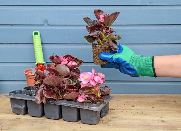 ベゴニアの苗の女性の手が付いているプラスチックカセットトレイは地面に植える準備ができている苗を保持します