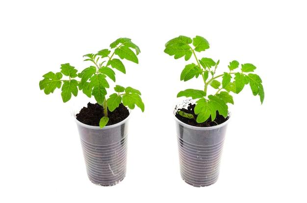 白で隔離されるトマトの若い緑の成長苗が入ったプラスチック容器