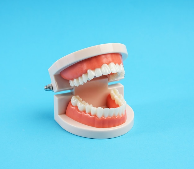 Plastic model of a human jaw with white teeth on a blue background, close up
