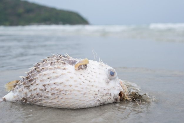 Plastic pollution problem, death puffer fish on the beach with dirty plastic garbage