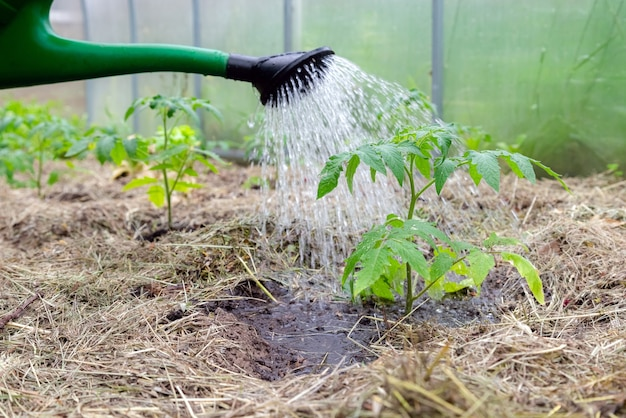 Plastic sprinkling can or funnel watering tomato plant in the greenhouse