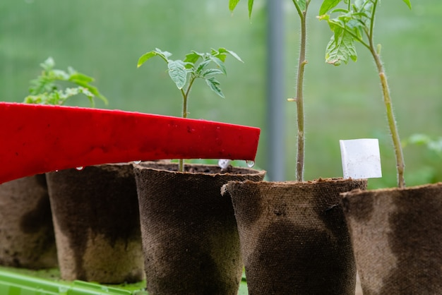 Plastic sprinkling can or funnel watering tomato plant in the greenhouse.