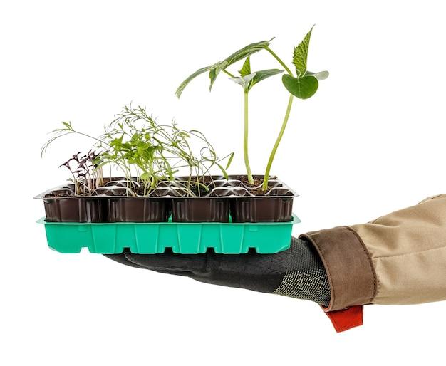 다양한 정원 식물의 녹색 모종이있는 플라스틱 트레이는 검은 색 보호 장갑과 흰색에 갈색 유니폼을 입은 정원사의 손바닥에 놓여 있습니다.