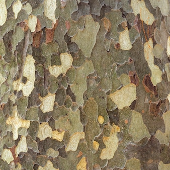 Platan bark wooden background.