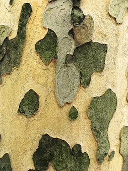 Platanus trees. scaly texture of the trunk