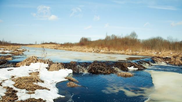 강에 백금 비버. 비버 백금. 비버는 댐을지었습니다.
