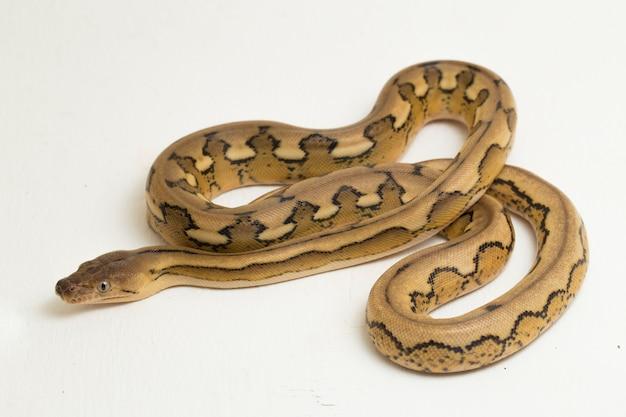 Platinum tiger reticulated python snake