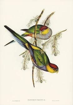 Попугай в красной шапочке (platycercus pileatus), иллюстрированный элизабет гулд