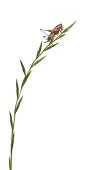 Женский щиток-спина катидид - platycleis tessellata