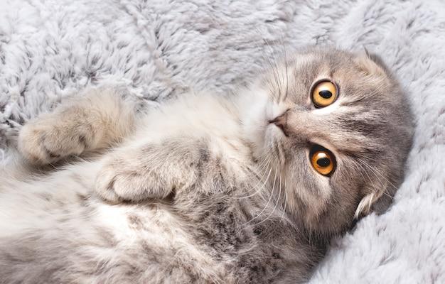 ベッドの中で遊び心と幸せな子猫かわいい灰色の猫の肖像画。スコットランドの猫。