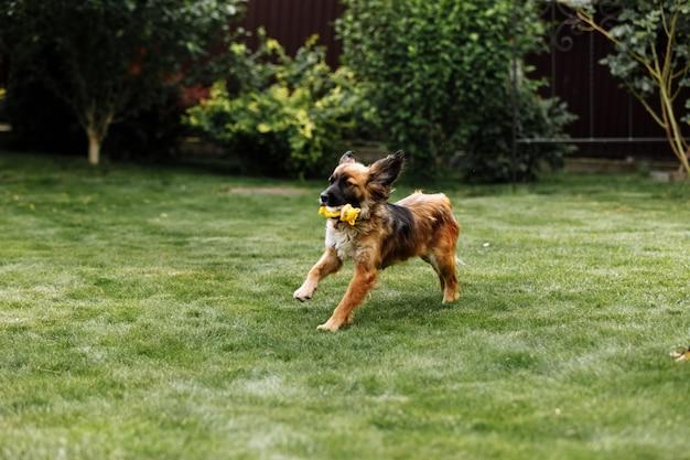 遊び心のあるスポーティーな若い犬がおもちゃを口に入れてサマーパークフィールドを走ります