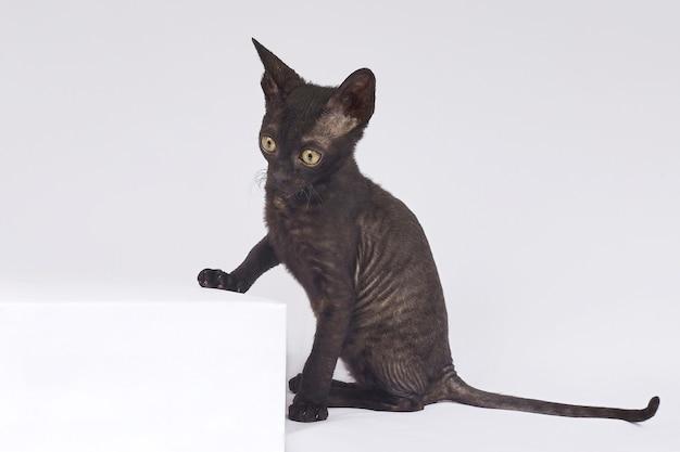 Игривый черный котенок породы корниш-рекс на белом фоне